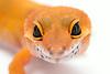leopard geckos smugmug (6 of 17)