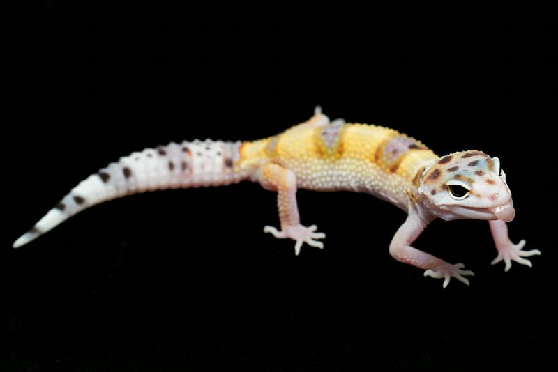 smugmus geckos (12 of 17)