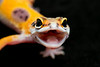 smugmus geckos2 (2 of 3)
