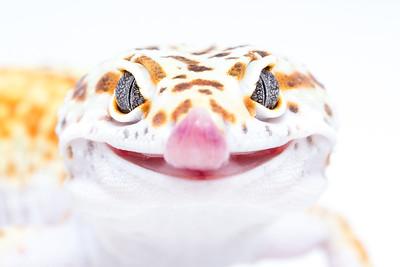 Leopard Geckos 2014
