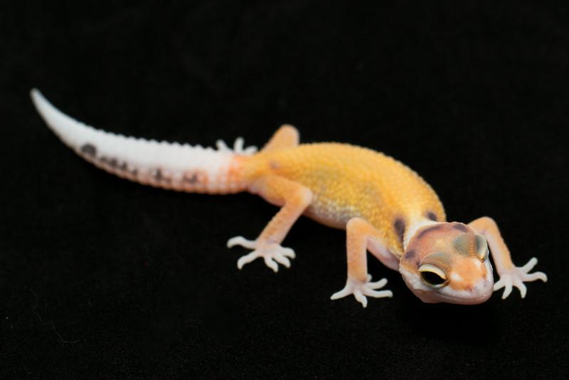 smugmus geckos (17 of 17)