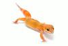 leopard geckos smugmug (5 of 17)