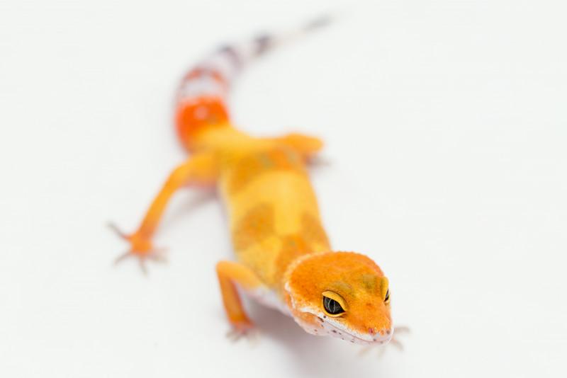 leopard geckos smugmug (13 of 17)