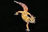 smugmus geckos (6 of 17)