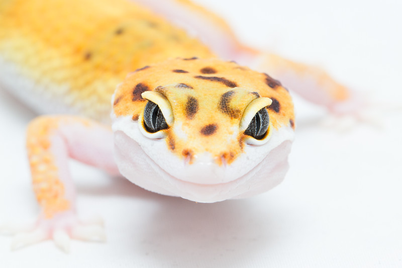 leopard gecko smugmug (5 of 5)