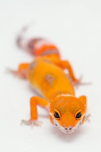 leopard geckos smugmug (15 of 17)