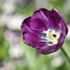 Purple tulip at Keukenhof