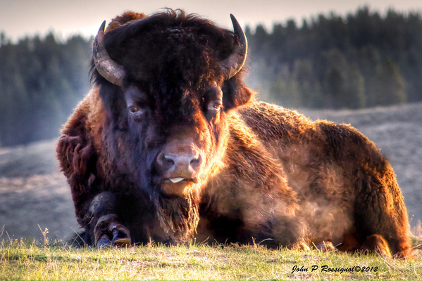 Bison in early morning light Yellowstone National Park