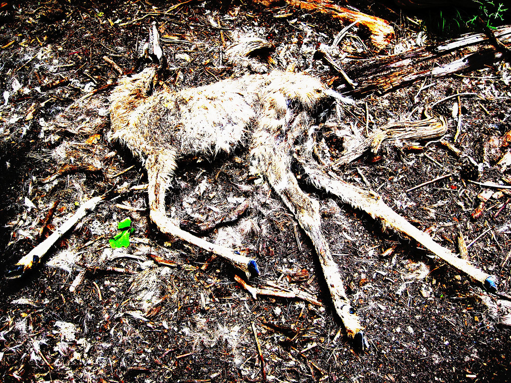 Dead deer, Zion national park Narrows