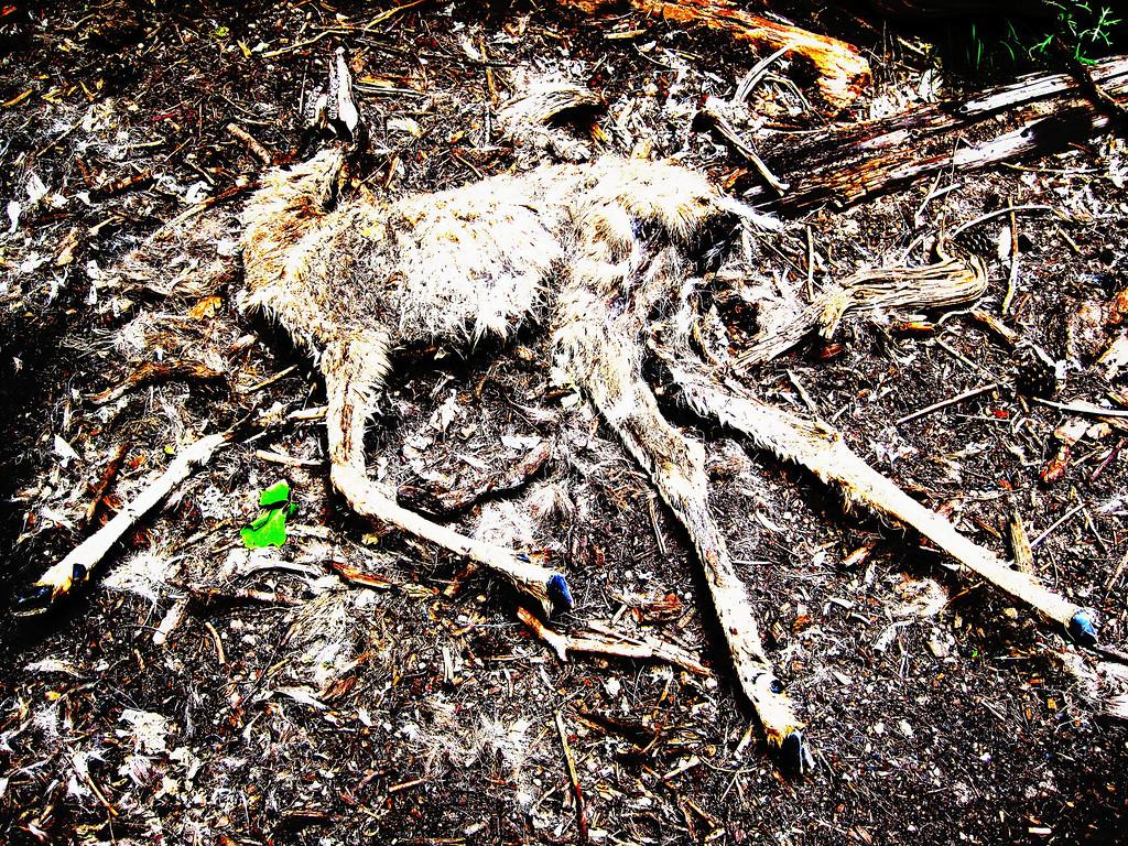 Dead deer, Zion national park Narrows