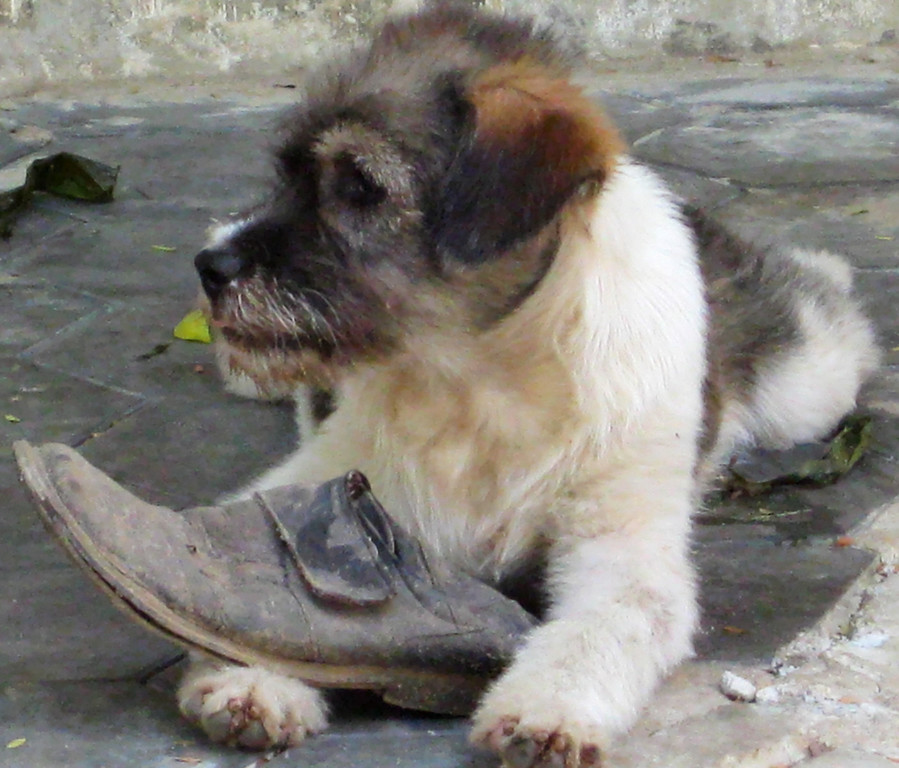 Dog with shoe