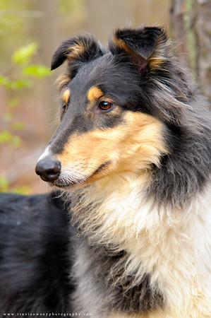 31 - Collie
