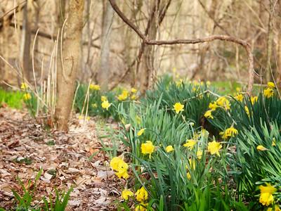 3.28-15: Wildwood daffodils