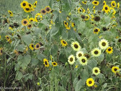 8-20-15: Sunflowers