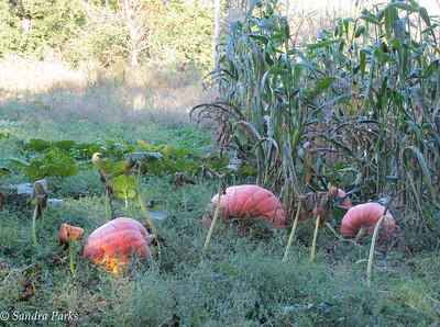9-17-15: pumpkins in the corn field.