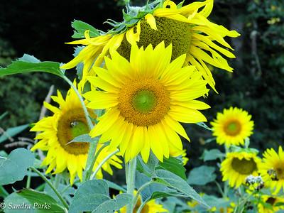 8-29-15: Sunflowers