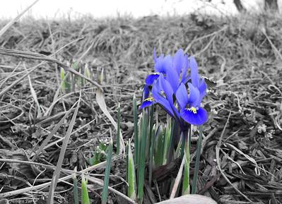 3-13-15: Dutch irises, Fadley Road