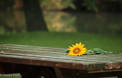 6-30-15: Sunflower, abandoned.