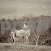 4-10-13 Mama llama and baby, Thistle Ridge