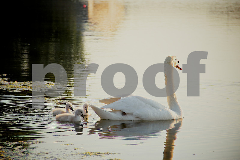 5-29-13- Swan with cygnets, Silver Lake