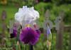 5-14-15: iris at home