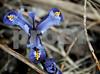 3-14-13: Iris reticulata