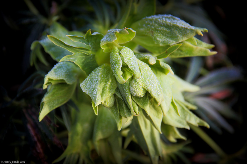 12-28-13- Lenten Rose buds in frost- proof that there will be flowers again