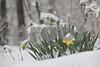 3-18-13: Daffodils, in Wildwood
