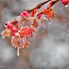 12-23-15: Cherry blossoms iat Christmastime