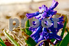 3-19-13: Today's hyacinth, at home