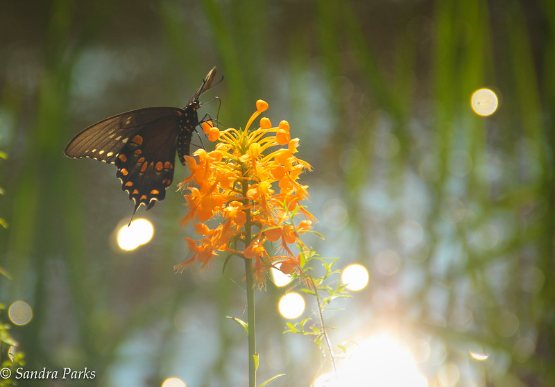8-28-15: Clifftop orchid, with butterfly.