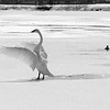 2-17-15: Trumpeter swan, Silver Lake