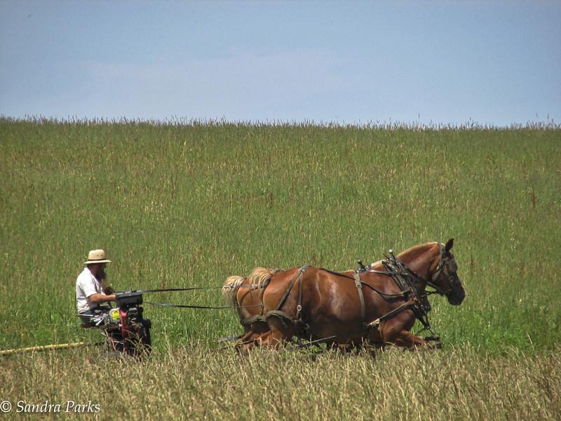 Amish Farmer, cutting hay.