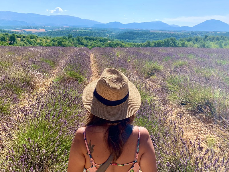 lavender fields in valensole provence france