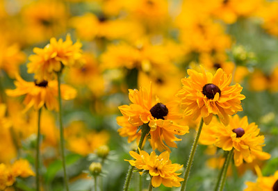 694A2496 yellow flowers 20X30