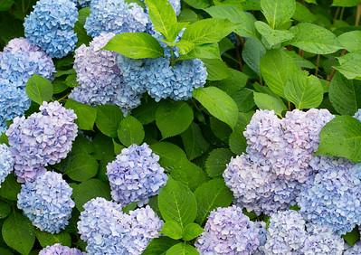 694A3286 blue flowers 20X30