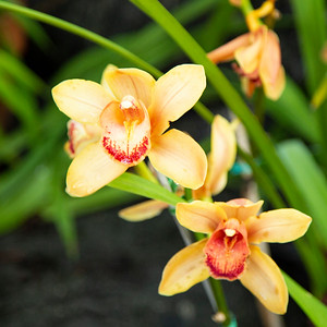 _94A5204 yellow orchid