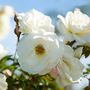 white roses_94A5579