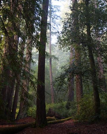 20140206_BigBasinRedwoods_090_8x10_sharp