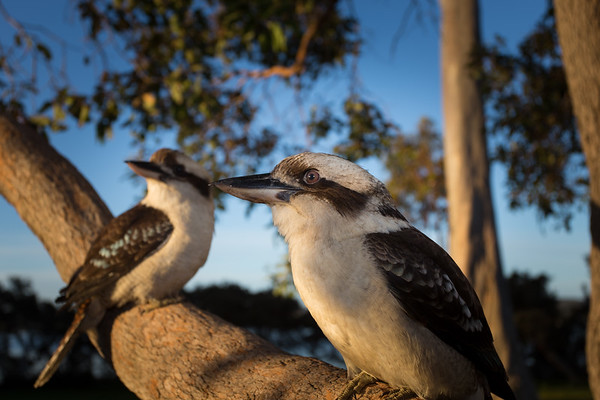 Kookaburra Sings in the Old Gum Tree