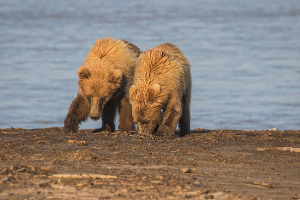 Buried treasure for young bears?