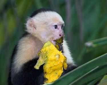 White-faced capuchin moneky, Curu Biological Reserve, Costa Rica