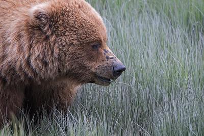Brown bear sow, Silver Salmon Creek
