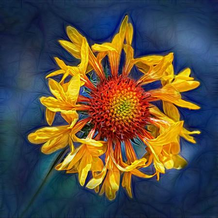 Kaleidoscope Blanket Flower