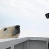 2007; Churchill, Kanada - beim Eisbären fotografieren - hier auf der Plattform des Tundra-Buggy... uhhh, der war nah...und so süüßß. <br /> Süß fand er mich auch denke ich, und hätte mich gerne als Vorspeise genommen...