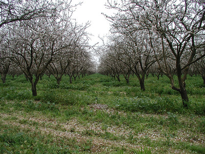 2003-02-15 - Almond Orchard at Sills Farms