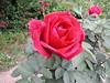 2003-04-18 - Rose garden 01