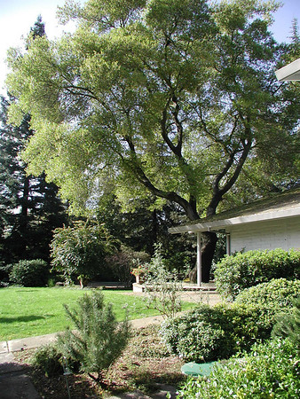 2003-03-15 - Norris oak tree