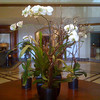 2010-06-24 - Orchid in the lobby of the Fairmont Hotel in Newport Beach, CA, USA