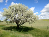 2012-06-18 - Tree in north central Montana